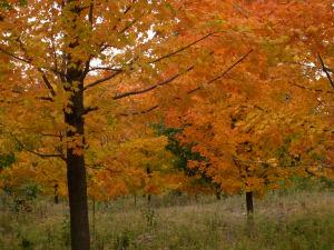 High Park maples