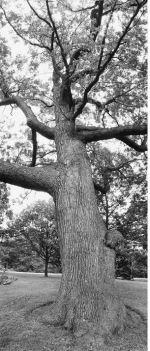 High Park white oak